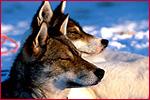 Rundreise / Städtereise / Ferienhaus - Finnland - Hundeschlittentour für Erfahrende Finnland 2017/18 Äkäskero Kittilä Advancedtour